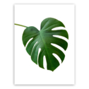 Obraz CANVAS GREENERY BLACK MONSTERA